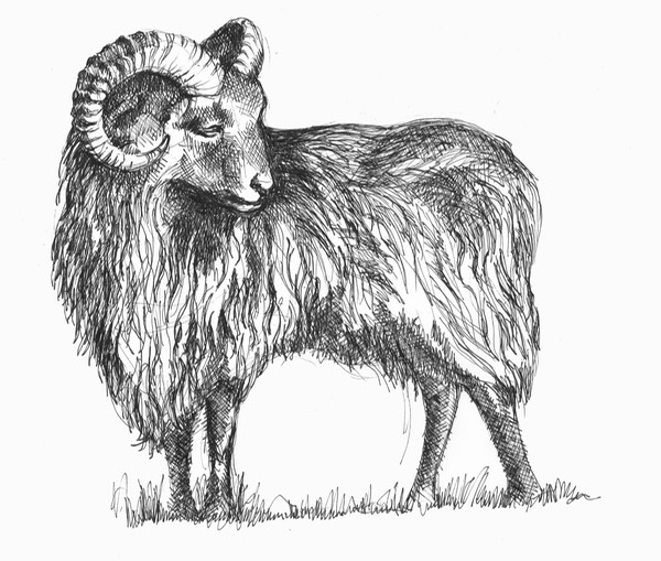 09 Ronaldsay Sheep